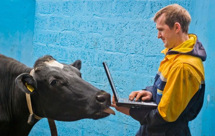 cattle0066-730x462
