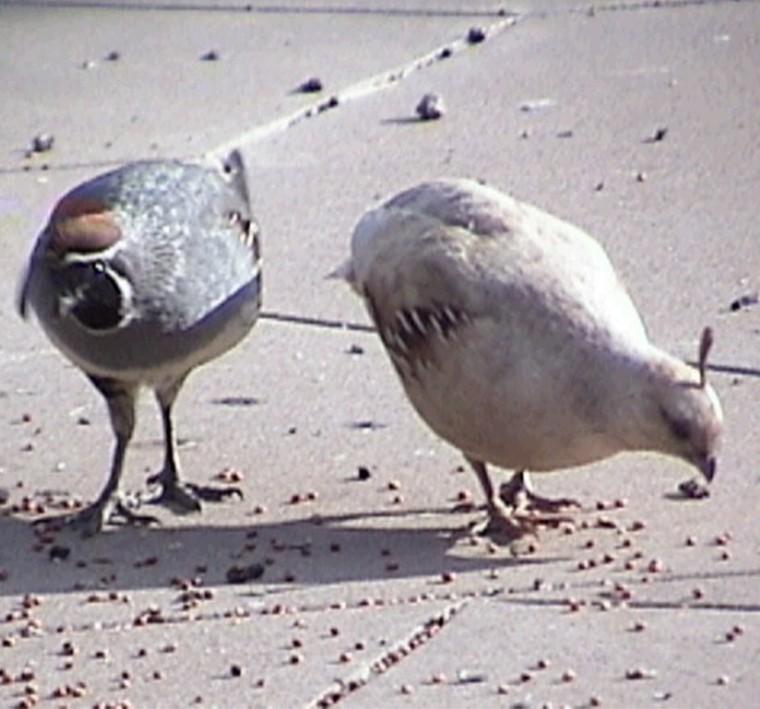 7_quail