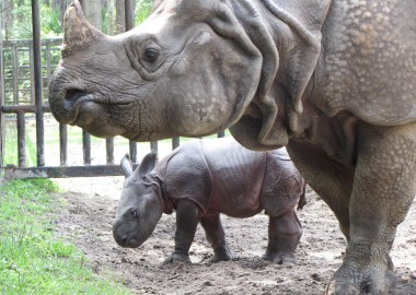 Greater_one-horned_rhino_and_baby_at_White_Oak
